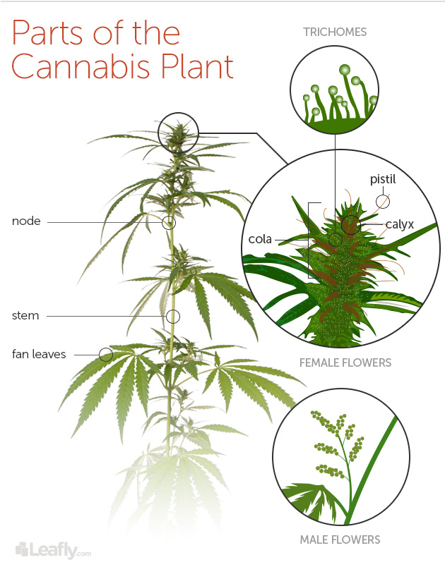 Cannabis Anatomy Morphology The Parts Of The Cannabis Plant The