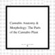 5 - Cannabis anatomy and morphology - The parts of the cannabis plants - The New Amsterdam