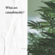 What are cannabinoids - The New Amsterdam