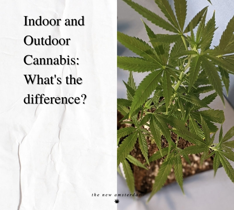Indoor and Outdoor Cannabis - What's the differance - The New Amsterdam