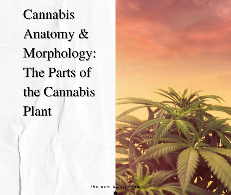 Cannabis anatomy and morphology - The parts of the cannabis plants - The New Amsterdam
